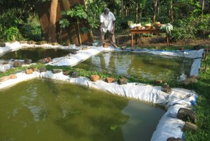 Mitusera Bainomugisha feeds fish in one of the ponds. Below: He supervises workers during harvests.