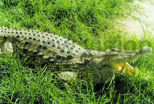 Lake Victoria waters bordering Mayuge have long been infested with crocodiles.