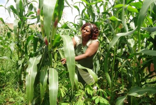 Namayanja shows the Maize garden.
