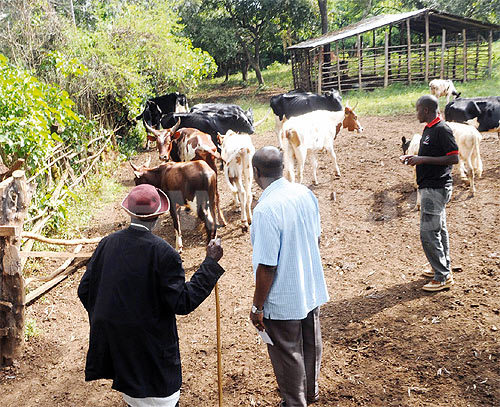 Amos Bakeine (left) handing over the 25 head of cattle (some out of camera view) to Ericalido Rwemera on Saturday.