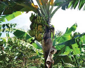 Uganda is still faced with the bacterial wilt, other crop viruses and animal diseases
