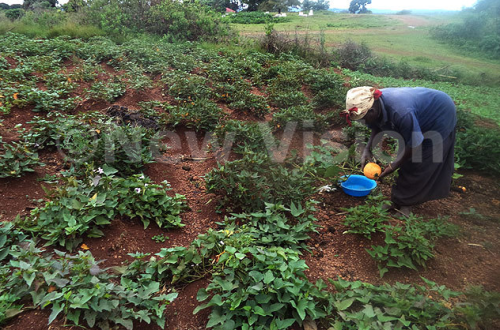 Nyirabakonze tending to her garden which is about 2km from the home.
