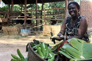 MULTITASKING: A house wife in Masaka prepares food and looks after her cattle (background).