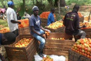 Youth packing a harvest of tomatoes for the market.
